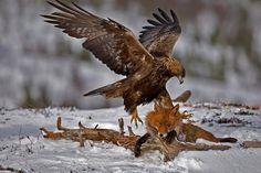 Golden Eagle taking a Fox! ♥  © Photo by Tom Elton