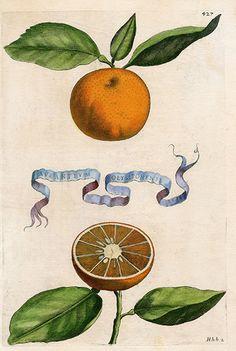 Aurantium olysiponense  – orange – citrus botanical illustration – Giovanni Baptista Ferrari Original Citrus Prints 1646
