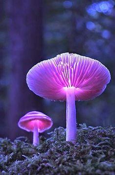 Glowing lavender mushrooms