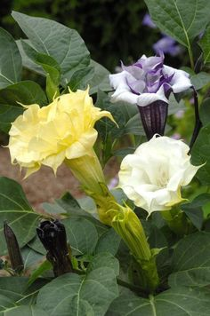 Datura Ballerina Mix Moonflower Seeds Lovely by CheapSeeds on Etsy