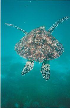 Fact: The estimated lifespan of sea turtles range from 60-80 years. #worldturtleday #turtle #queensland Turtle Fan Photo via @Fay Franklin - Green Island