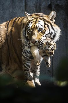 Amazing wildlife - Tiger and Cub