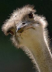 I will ride an ostrich