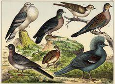 1886 Antique BIRD print dovelike and by TwoCatsAntiquePrints, $34.00