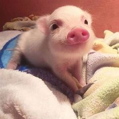 That smile!  #regram @piggyspears #pig #cuteanimals