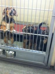 Brody & Siblings ( SKIN PROBLEMS )---URGENT is an adoptable Shepherd Dog in Pikeville, KY. Adoption fee is $50! This fee covers spay/ neuter ,first set of shots, first de-worming, Pike County dog tag ...