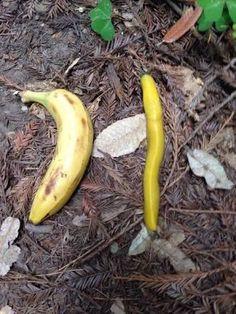 banana slug - Google Search