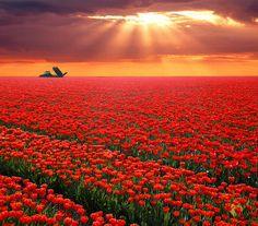 Tulips. Photo by Sjoerd Moleman