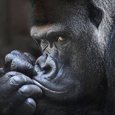"WildlivePlanet on Instagram: ""Photo by @iwonfotografiert #wild #monkey #nice #niceshot"" Wild Photography, Wildlife Photography, Animal Photography, Creative Photography, Silverback Gorilla, Chimpanzee, Congratulations Photos, Safari, Monkey Pictures"
