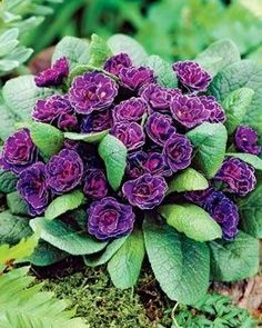 Miss Indigo Primrose, perfect for the front of a shade garden. Grows only 6 tall, with evergreen foliage.