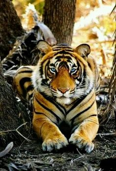Syberian Male Tiger Over 3 meters long and weighing over 300 kg