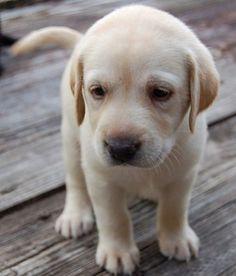 Labrador Puppy cute !