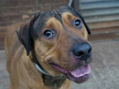 """SAFE ! 11/26/13  Brklyn Ctr -P  ROCK  #A0985357  Neutered male  Rottweiler mix 3 YRS  OWNER SUR 11/19/13. Sweet, loving, & easy on the leash, Rock will try to please his pet parents. Though sometimes shy & reserved, when he seeks out attention Rock wants even more! Knows many commands, like """"sit"""" & """"stay,""""  House trained & playful w/ cats & dogs. Friendly w/ kids & strangers. Equal parts silly, sweet & mysterious. Did well on behavior exam, GREAT FOR ANY FAMILY! How about yours?"""