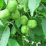 Zielone orzechy - nalewka