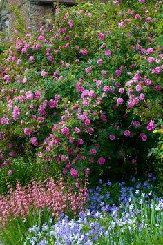 Cottage garden with climbing Rosa 'Californica plena', pink penstemon and blue and white Viola cornuta, June.