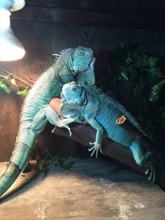 axanthic blue morph iguana