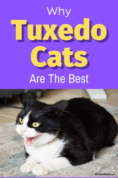 what are tuxedo cats and what makes them so special? Discover  all about these unique kitties and why they make such good pets. #tuxedocats #catbreeds #blackandwhitecat #blackcatbreeds Black Cat Breeds, Tuxedo Kitten, Cat Photography, Bridal Photography, Cat Facts, White Cats, Cats And Kittens, Dog Cat, Themed Weddings