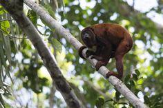 Mono aullador Alouatta sara