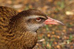Weka Gallirallus australis - Google Search