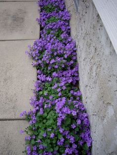 Front Yard Landscaping Purple Flowering Groundcover - Campanula Portenschlagiana - a plant that grows in less-than-ideal conditions and has long-lasting foliage. Plant care info is on the post - via Northern Shade by michellecakesandmore Small Flower Gardens, Driveway Landscaping, Landscaping Ideas, Walkway, Driveway Design, Backyard Ideas, New Build Garden Ideas, Driveway Ideas, Purple Flowers