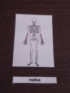nomenclature squelette