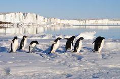 Arktis, Pinguine sehen (und wohl auch riechen;)