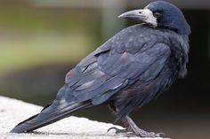 Rook (Corvus frugilegus) Quite tame but alert