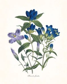 """FLEURS DE JARDIN - """"FLOWERS OF THE GARDEN"""" BLUE SERIES PLATE 5 GICLEE PRINT This print features an antique botanical illustration which has been digitally enhanced and added to a light neutral backgro"""