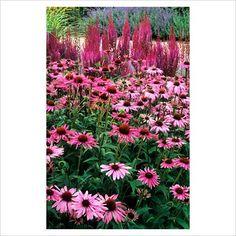 Echinacea 'Rubinstern' and Astilbe 'Purpurlanze' - GAP Photos - Specialising in horticultural photography Alchemilla Mollis, Purple Candles, Astilbe, Plant Pictures, Plant Design, Dream Garden, Norfolk, Garden Plants, Perennials