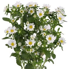 Aster Flowers White  - Brooke's birth month flower (love, faith, wisdom & symbolizes valor)