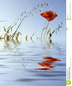 Flower of a poppy on a background of the sky. Reflection in water.
