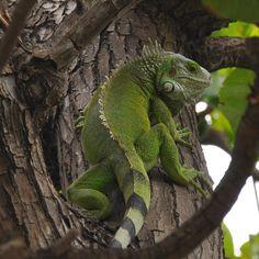 23 Interesting Facts About Iguana - Meowlogy Tamarindo, Iguana Care, Tortoise Vivarium, Animals And Pets, Cute Animals, Wild Animals, Green Iguana, Big Iguana, Easy Pets