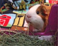 Guinea Pigs' Cavy Club Tips & Pics: About Pellets and Hay - How to Choose