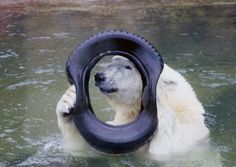 White Bear in the zoo / Moscow, Russia