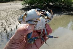 Mud Crab Fattening Profits and Cost: The mud crabs occupy marine as well as brackish water environments. Scylla tanquebarica and Scylla serrata Agriculture Farming, Travel Log, Beautiful Park, Mud, National Parks, Garden, Garten, Lawn And Garden, Gardens