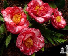 Camellia japonica 'Eleanor Martin Supreme' (U.S., 1959)