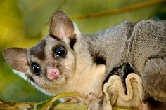 Squirrel Glider | Squirrel Glider. Similar but larger than the Sugar Glider. Threatened.