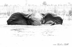 great photo. .!! Credit : @sabine_stols - An elephantastic week for everyone out there For info about promoting your elephant art or crafts send me a direct message @elephant.gifts or emailelephantgifts@outlook.com . Follow @elephant.gifts for inspiring elephant images and videos every day! . . #elephant #elephants #elephantlove