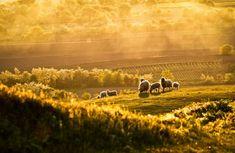 Golden light pouring over sheep grazing in a field. Photography by Elena Simona Craciun