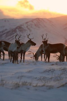 Caribou -- by Wolfhorn, via Flickr