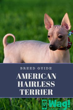 Everything you need to know about the American Hairless Terrier! Lazy Dog Breeds, Designer Dogs Breeds, Smartest Dog Breeds, Hypoallergenic Dog Breed, Hairless Dog, Beautiful Dog Breeds, Terrier Dog Breeds, Popular Dog Breeds, Dogs And Kids