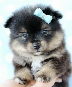 Teacup Pomeranian - Looks like a Pomsky!