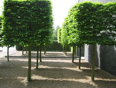 Cube topiary, Carpinus betulus in gravel, it gives an extra dimesnion to minamalistic modern garden design. By Avantgarden.
