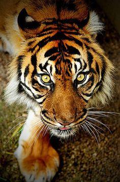 44 Meilleures Images Du Tableau Tigre Du Bengale Feral Cats Wild