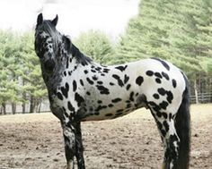 Legendary Design - Friesian / Appaloosa 2006 stallion, son of hand Approved FPZV Friesian stallion Ljibbes Valour Legend is E/e LP/lp with no bay gene or other color modifiers. Very nice dressage type movement. All The Pretty Horses, Beautiful Horses, Animals Beautiful, Beautiful Things, Appaloosa Horses, Friesian, Leopard Appaloosa, Cowgirl And Horse, Horse Love