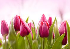 Fresh Tulips with Dew Drops