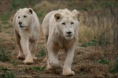 Plenty of wildlife for guests to photograph! Cat Farm, Game Reserve, Heating And Air Conditioning, Polar Bear, Conservation, Cheetah, Lions, Wildlife, Photograph