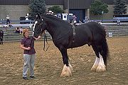Shire horses are one of the largest horse breeds; note comparison to human handler.