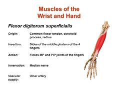 flexor digitorum superficialis origin and insertion - Google Search