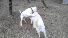 도고아르젠티노VS풍산견 Dogo Argentino VS korea Pungsan Dog 2014/92/01